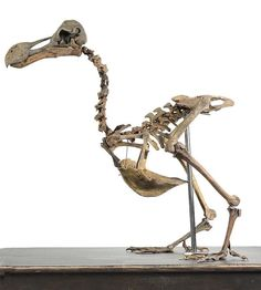 Natural History: An extremely rare and important dodo skeleton (Raphus cucullatus) century and earlier, Mauritius high Estimate 22 November 2016 Evolution Auction Skull Reference, Animal Skeletons, 22 November, Indiana Jones, Mauritius, 16th Century, Natural History, Curiosity, Bones