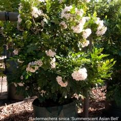 Radermachera sinica 'Summerscent Asian Bell' alternative to hibiscus on boundary Dwarf Trees, Elizabeth Street, Hedges, Hibiscus, Garden Design, Summer, Planters, Asian, Kunming