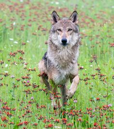Wolf in Wildflowers by  Steve Russell