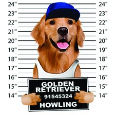 Golden Retriever Mugshot Tee Dog Hoodie Golden Retriever Dog