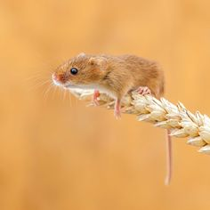 Cute mouse, field mouse, mouse and wheat, English mouse, mouse, mice, John Gooday, photo of the day, photobotos