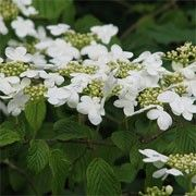 Viburnum plicatum f. tomentosum 'Mariesii' (Japanese snowball 'Mariesii') Get care advice to your inbox every month - add this plant to your personal list. Flower Close Up, Planting Plan, London Garden, Shade Plants, Trees And Shrubs, Snowball, Plant Care, Colour Schemes, Garden Styles