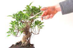 Einen Ficus beschneiden
