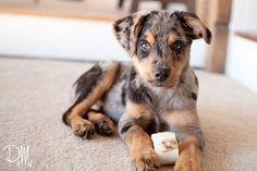 Beagle Australian Shepherd Mix Puppies