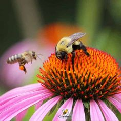 Developing a better understand of the honey bee and all types of bees in our world. Learn ways to help save bees and learn to co-exist in our world. Do Bees Have Knees, Bees Knees, Remedies For Bee Stings, Yellow Jacket Wasp, Types Of Bees, Bee Do, Bee Keeping, Queen Bees, Things To Know