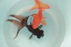 Goldfish in Japan
