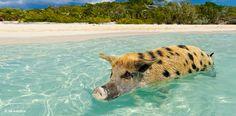 Die glücklichsten Schweine der Welt leben auf »Pig Island«. In der paradiesischen Nachbarschaft von Hollywood-Größen wie Johnny Depp und Nicolas Cage tummeln sich diese seltsamen Borstentiere mit Vorliebe am Strand und fühlen sich auch beim Baden in der Karibik sauwohl. – Diese Karte hier online kaufen: http://bkurl.de/pkshop-211405 Art.-Nr.: 211405 Glücksschweinchen | Foto: © Eric Martin/Le Figaro Magazine/laif | Text: Michael Stührenberg