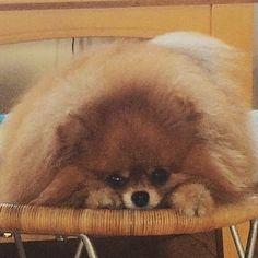 Pomeranian, Nutter Butter You not Fat, You Fluffy!