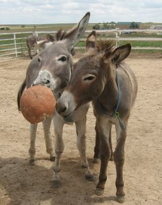"""Toys for Donkeys: A bored donkey will look for anything to play with. The solution is to have plenty of toys on hand to keep them amused. This may also keep them from cribbing on your fence or barn.  Male donkeys are particularly fond of playing hard, rough and often. Here is a list of some inexpensive """"toys"""" to keep your donkey amused: large empty cardboard boxes with staples removed  (you can put treats inside and let them open... Courtesy: The Longhopes Donkey Shelter. Bennett, Colorado…"""