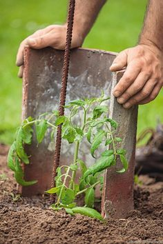 Comment planter les tomates en 6 étapes - Diy Tutorial and Ideas Container Gardening, Horticulture, Hydroponic Gardening, Planters, Plants, Permaculture Gardening, Urban Garden, Gardening Tips, Vegetable Garden