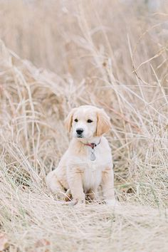 © Megan Thiele Studios | cute puppy, Yellow Lab Golden Retriever mix, dog-photography