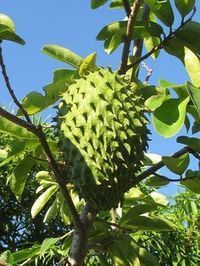 The fruit from the guyabano/Graviola tree or the Sour Sop is an amazing natural cancer killer that is times stronger than the Chemo. Natural Medicine, Herbal Medicine, Wellness Fitness, Health And Wellness, Healthy Drinks, Healthy Tips, Herbal Remedies, Home Remedies, Medicinal Plants