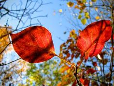Blushing leaves. Finland by Eva