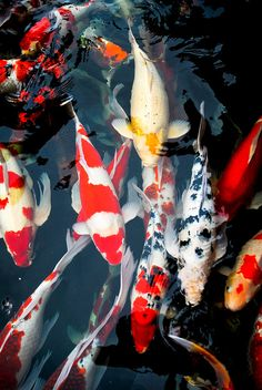 Koi colors