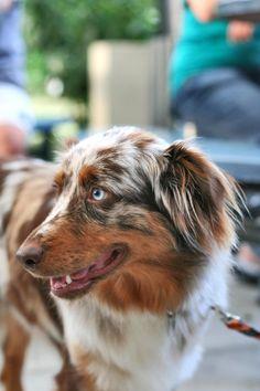 Gina, Australian Shepherd by RandyErdman.deviantart.com on @deviantART