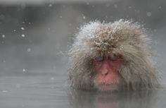 Japanese snow monkey #1