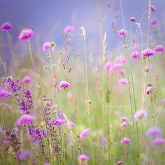 fiori di giugno, By Volphoebe via Flickr.