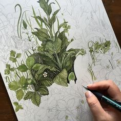 Little progress shot 🌿 I'm not very good at doing all the under layers first, I get bored easily and have to go in with some detail 🙈🌿🌿🌿 Art And Illustration, Illustrations, Botanical Drawings, Botanical Art, Plant Painting, Painting & Drawing, Watercolor Plants, Watercolor Paintings, Watercolors