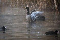 #wildlife #haffreimech #wildlifephotography #remerschen #biodiversum #luxembourg #igerslux #baggerweier #wanderlust #birding #birdwatching #nature #naturelovers #naturephotography #outdoors #ornithology #igerslux #naturephotography #eye_spy_birds #natura2000 #outsideisfree #ic_nature #ignature #ignaturefinest #ig_captures_nature #instanaturelover #allnatureshots #dezpx_birding #wearetheluckyones #dezpx #duck #coot