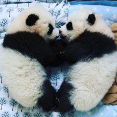 po cme desh tjtr un psh❤️ Cute Baby Animals, Animals And Pets, Funny Animals, Wild Animals, Image Panda, Mon Zoo, Baby Panda Bears, Baby Pandas, Panda Babies