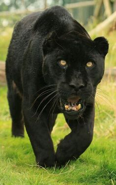 A black panther is typically a melanistic color variant of any Panthera species. Black panthers in Asia and Africa are leopards (Panthera pardus). Black panthers in the Americas are black jaguars (Panthera onca). Jaguar Noir, Beautiful Cats, Animals Beautiful, Animals And Pets, Cute Animals, Wild Animals, Baby Animals, Black Panthers, Gato Grande