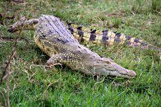 Big Crocodile Queen Elizabeth National Park, Uganda, Part 3