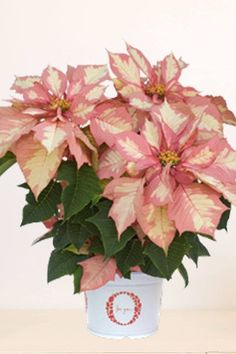 SPECIALTY POINSETTIA GIFT PLANT VARIETIES Pre-order Your Gift Poinsettias Now Deliveries begin mid-November Unique size fits anywhere Easy Care, low maintenance Great gift item Complimentary decorative holiday plant sleeve Custom need or color preference? Feel free to contact us! Monet Twilight™ Poinsettia Product Desc