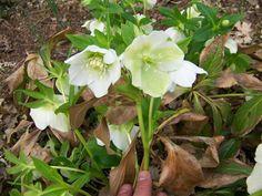 white yellow lenten roses | Common Name: Lenten Rose Latin Name: Helleborus x hybridus 'White Lady ...