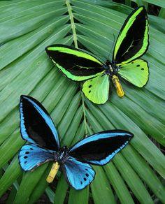 Een schoonheidswedstrijd onder vlinders