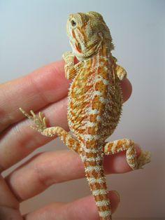 Orange/citrus bearded dragon-found on Atlas Dragons facebook