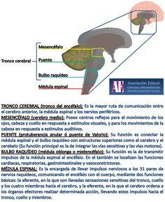 Tronco cerebral - Asociación Educar - Ciencias y Neurociencias aplicadas al Desarrollo Humano - www.asociacioneducar.com