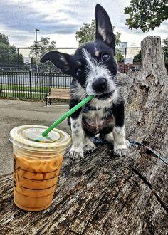 ~~Mmmmm! Starbucks Iced Coffee! ~ a highly caffeinated Border Collie :-) by Bill Adams~~