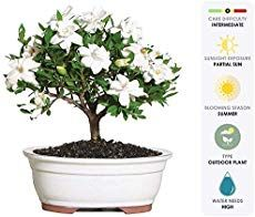 Brussel's Live Gardenia Outdoor Bonsai Tree - 4 Years Old; to Tall with Decorative Container - Not Sold in Arizona. Gardenia Bonsai are one of the most loved and challenging plants in the bonsai world. Bonsai Apple Tree, Bonsai Tree Price, Buy Bonsai Tree, Bonsai Trees For Sale, Bonsai Tree Care, Bonsai Soil, Bonsai Seeds, Bonsai Plants, Bonsai Garden