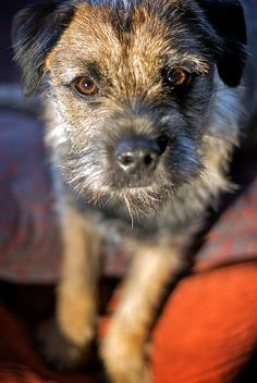 Ernie the Border Terrier.  One day, I will have a little guy just like this.