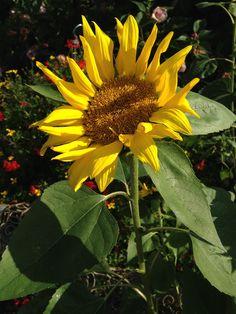 A sunflower in our garden. www.walterstheatre.com
