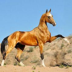 Akhal-Teke - greyhound of the desert....