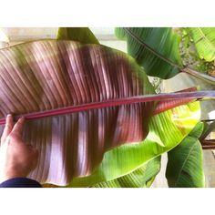 1000 id es sur le th me bananiers sur pinterest plantes et arbres fruitiers - La maison du bananier ...