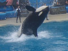 Great blog post about why captive orcas and dolphins are not the same as pet dogs.