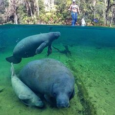 @leesea78 Exploring #FL and hanging with #seacows #manatees @kenalu_paddles . . . #sup #standuppaddle #standuppaddleboard #suplife #paddleboard #standupsurf #standupboards #paddleboarding #standuppaddlesurfing #travel #destinations #happy #paddleboarding #neverstopexploring #adventure #smile #happy #supsurf