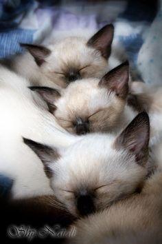 Siamese snooze.                                                                                                                                                     More