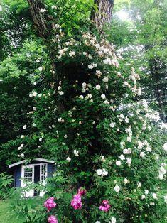 Mein Garten machtwirklichnicht viel Arbeit. Das Geheimnis liegt in der richtigen Auswahl der Pflanzen. Hier sind meine 14 Lieblingspflanzen für Faule. Oder für Viel-Beschäftigte.