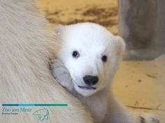 How long did it take the veterinary team to perform a complete physical exam on this Polar Bear cub at Germany's Zoo Am Meer?  Find out at ZooBorns.com and at http://www.zooborns.com/zooborns/2014/03/quick-vet-visit-for-zoo-am-meers-little-polar-bear.html