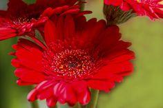 Macro of a Mini Gerbera Daisy #photography #Daisy #Macro