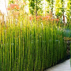 Green Walkway: A row of horsetail acts as a natural screen. Fringing it with black mondo grass below and coral aloe above creates a color-blocking effect.