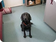 McClure, OH - Labrador Retriever Mix. Meet Sanford, a dog for adoption. http://www.adoptapet.com/pet/11412257-mcclure-ohio-labrador-retriever-mix