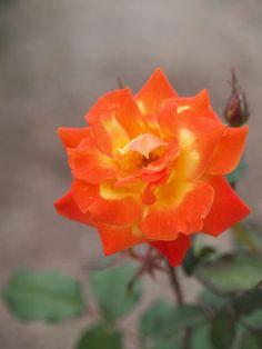 ~'Conqueror's Gold'   Floribunda rose, @ T. Kiya