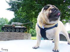 Even pugs, look at this guy! - http://europug.eu/even-pugs/