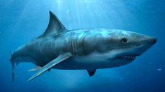 Inilah 10 Macam Ikan Hiu Terbesar di Dunia