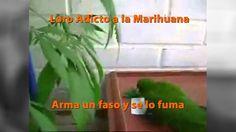 Un loro armando un cigarrillo de marihuana (y se lo fuma) http://yeow.com.ar/2014/10/loro-arma-cigarrillo-marihuana-fuma.html #--    Digan lo que digan, la adicción conlleva a la desesperación,  y esto le pasa al loro adicto a la marihuana arma un faso (cigarrillo de marihuana) para luego fumarselo. ¡VIDEO REAL!