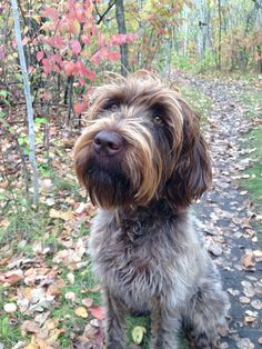 Stella Wirehaired Pointing Griffon
